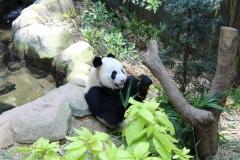 Panda 01