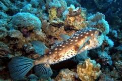 Sharm El Naga - Igelfisch
