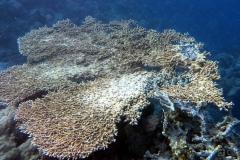 Sharm El Naga - Tischkoralle