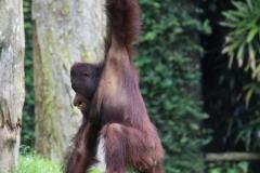 Singapur Zoo 08