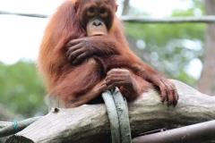 Singapur Zoo 09