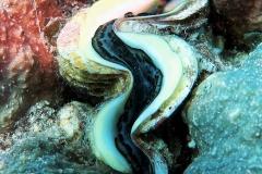 Sharm El Naga - Riesenmuschel