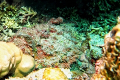 Sharm El Naga - Steinfisch