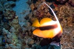 Sharm El Naga - Wimpelfisch