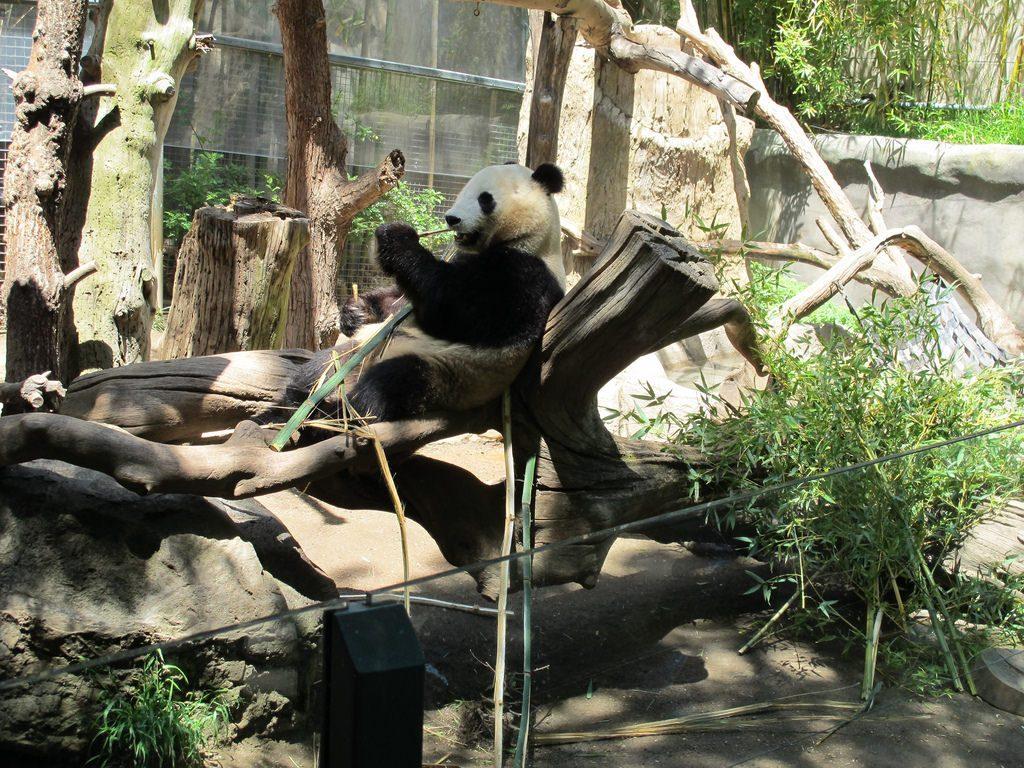 San Diego Zoo - Panda