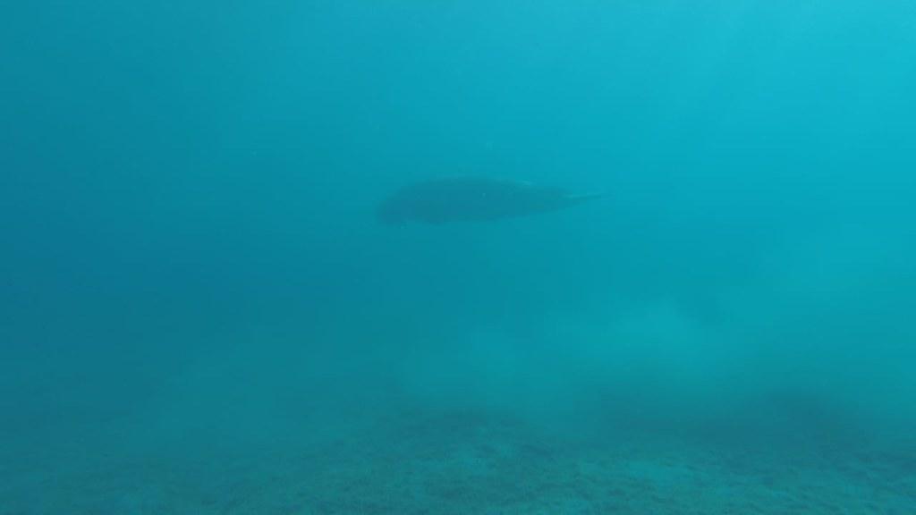 Dugong in Marsa Alam